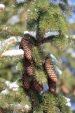 针叶树枝杈和锥体 库存图片