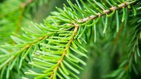 针叶树树的枝杈 免版税库存照片
