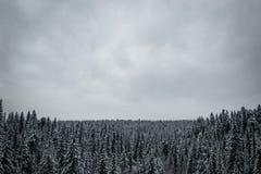 针叶树森林在冬天 免版税图库摄影