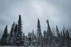 针叶树森林在冬天 库存图片