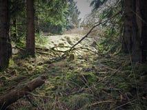 针叶树森林在早期的春天 免版税图库摄影