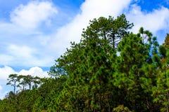 针叶树森林 免版税图库摄影