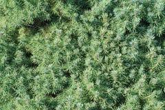 针叶树背景 免版税库存照片