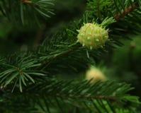 针叶树锥体在开发中 库存图片