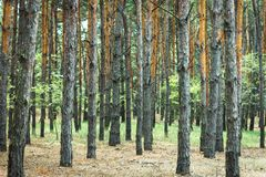 针叶树, b的纹理厚实的杉木森林树干  免版税库存图片