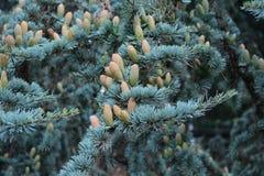 针叶树/云杉的树 免版税库存图片
