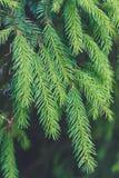 针叶树 喀尔巴阡山脉范围 冷杉的一根年轻小树枝 库存图片