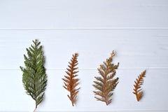 针叶树 自然本底 Conifefer背景 抽象空白背景圣诞节黑暗的装饰设计模式红色的星形 常青分行 卡片 库存照片