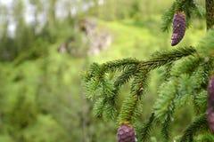 针叶树 库存照片
