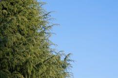 针叶树 库存图片