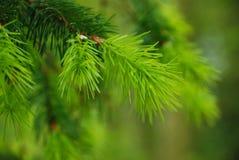 针杉木 免版税图库摄影