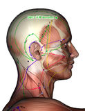 针灸点GB13 Benshen, 3D例证 库存照片