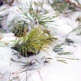 针用雪盖 包括的雪云杉 免版税库存图片