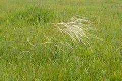 针茅在草甸 库存照片