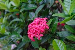 钉牢花、桃红色花钉和绿色叶子 在庭院里钉牢花有自然本底 库存图片