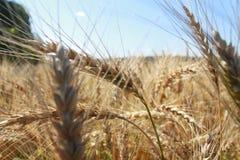 钉牢麦子 库存图片