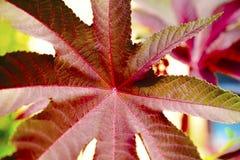 钉红色花油铸工的蓖麻叶子草本种属 免版税库存图片