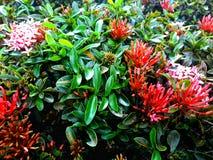 钉红色花绿色在庭院里 库存图片