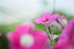 钓钟柳`苹果计算机开花`花在庭院里 库存图片