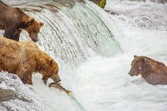 钓鱼为三文鱼的北美灰熊 图库摄影