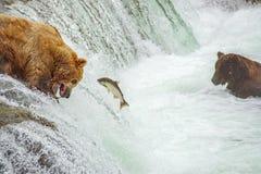 钓鱼为三文鱼的北美灰熊 免版税库存照片