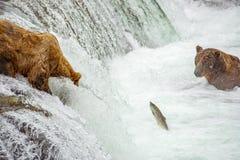 钓鱼为三文鱼的北美灰熊 库存照片