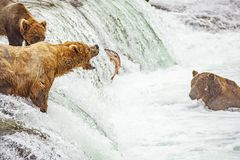 钓鱼为三文鱼的北美灰熊 库存图片
