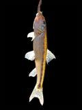 钓鱼停止在黑色背景的一个异常分支。 免版税库存图片