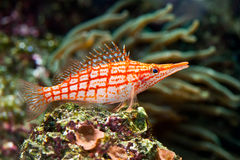 钓鱼剥离的红色 免版税库存照片