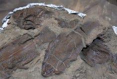 钓鱼化石 免版税库存照片