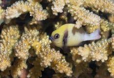 钓鱼在与被伪装的珊瑚的黄色口气在马尔代夫 免版税库存照片