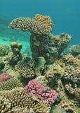 钓鱼在大堡礁的珊瑚头 免版税库存图片