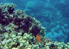 钓鱼在大堡礁的珊瑚头 库存照片