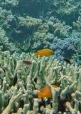 钓鱼在大堡礁的珊瑚头 免版税库存照片