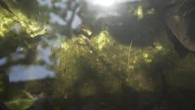 钓鱼在池塘水,庭院,鲤鱼,五颜六色,绿色, koi,美丽,颜色,湖,动物中 影视素材