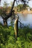 钓鱼在河 库存图片
