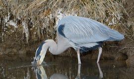 钓鱼在湖边缘的伟大蓝色的苍鹭的巢 库存照片
