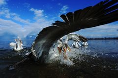 钓鱼在湖Kerikini的达尔马希亚鹈鹕 免版税库存照片