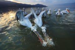 钓鱼在湖Kerkini的达尔马希亚鹈鹕 免版税库存照片