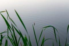 钓鱼在芦苇的浮游物 免版税库存照片