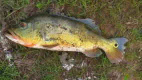 钓鱼在Fleuve 玻利维亚,南美 免版税库存照片