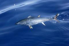 钓鱼地中海版本金枪鱼的蓝色飞翅 免版税库存照片