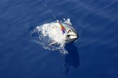 钓鱼地中海版本金枪鱼的蓝色飞翅 免版税库存图片