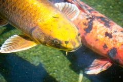 钓鱼日本koi 图库摄影