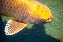钓鱼日本koi 免版税图库摄影