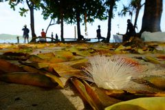 钓鱼毒物树在Th的花asiatica的Barringtonia和叶子 免版税图库摄影