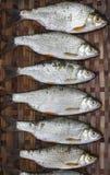 钓鱼的淡水鳔形鱼篮子 图库摄影