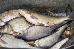 钓鱼的鲂 免版税库存照片