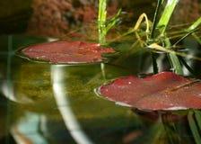 钓鱼睡莲叶池塘 免版税库存图片