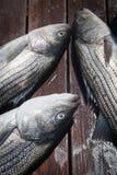 钓鱼石斑鱼 免版税库存照片
